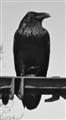 Raven in Alaska