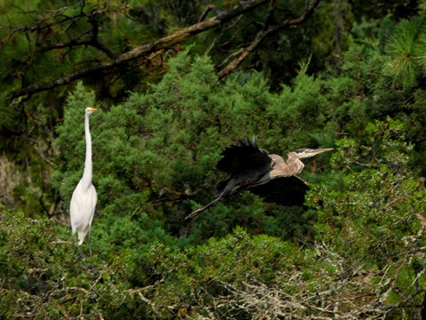 Great Egret & Great Blue