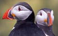 Puffins up close and personal