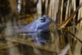 Blue frog-gorf eulB