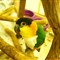 Black-HeadedCaique