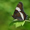 WHITE ADMIRAL BUTTERFLY MALE 8 X 10 1000P DPR