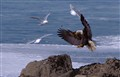 Herring Eagle