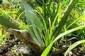 Plant Lizard