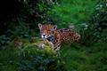 IMG_jaguar 2