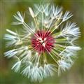 Break down dandelion