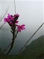 alpine pink surviver