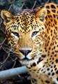 Leopard in Delhi Zoo