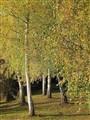 Silver birches, Daylesford Victoria