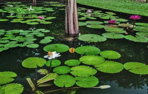P1120115dp p72 Water lilies SBG