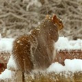 snowsquirrel