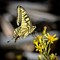Old-World-swallowtail
