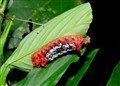 Caterpillar in Amazon Jungle
