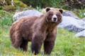 Brown Bear in Dundas Bay, SE Alaska