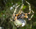 Spider on Live Oak