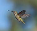 "A female Anna's hummingbird ""frozen"" in midair - image taken in Southern California."