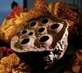 Dried Lotus - Nelumbo Nucifera