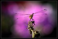 Dragonfly in Purple