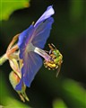 THE POLLINATOR - SWEAT BEE (Agapostemon)