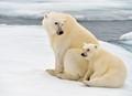 sow and cub polar bears