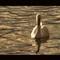 Swan at Dusk II