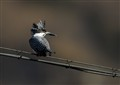 Crested Kingfisher on wire