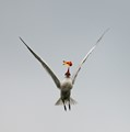 Tern is tossing gold fish in mid-air