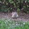 Northern Sparrowhawk shaking its head