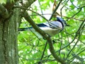 A mean looking jay...