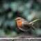 Robin in Garden