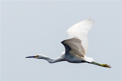 Great White Egret over Big Cypress Swamp (Ardea alba)