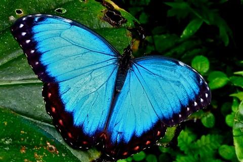 Blue Morpho 80639