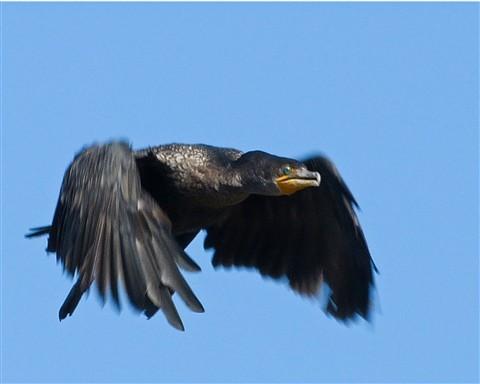 Cormorant 11 120811