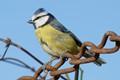Blue Tit with unusual beak.
