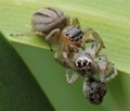 one jumping spider becomes victim of another
