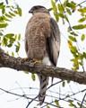 Cooper's Hawk, Los Angeles, CA