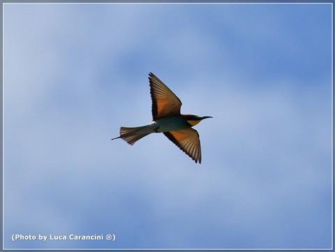 Merops apiaster (Gruccione) n.6