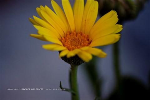 DAY 78 FLOWERS OF ARABIA