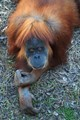 Orangutan ...