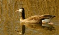 Bird on golden pond