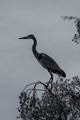 grey heron waiting for the right moment