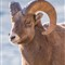 BighornRamAbeLk_Jan_2012_400