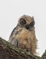 Teenage Great Horned Owl staring me down from high up on a tree branch.