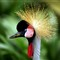 African Crested Crane