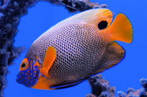Blue face orange fins