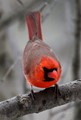 Cardinal in winter plumage