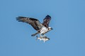BC Osprey and Catch of the Day-0023