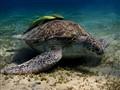 Grazing green sea turtle