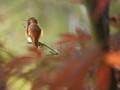 Hummingbird In My Maple Tree