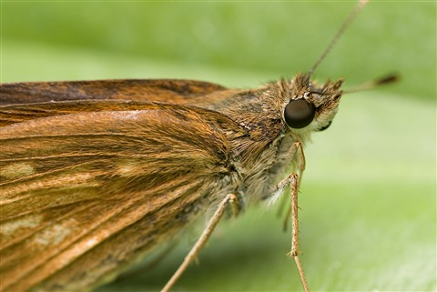 Skipper on leaf 6640